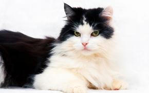 cat, COTE, cat, black-white