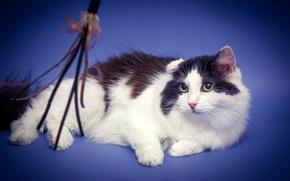 COTE, gatto, gatto, sfondo