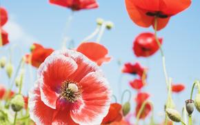 цветы, цветок, флора, мак, маки