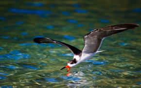 oiseau, oiseaux, nature, étang, chasse, mouette