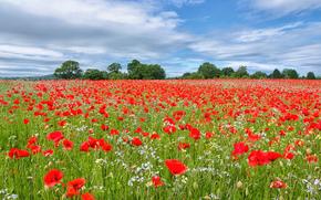 domaine, Fleurs, Coquelicots, paysage