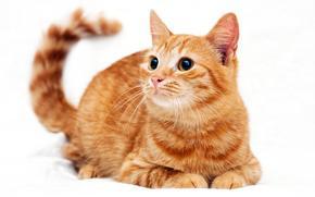 кот, кошка, кошки, котенок, рыжий, белый фон