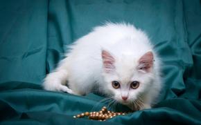 COTE, gatto, gatto, gattino, bianco