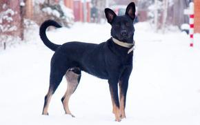 dog, Dog, snow, winter