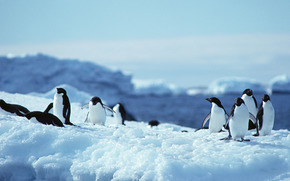 Penguins, penguin, birds, Antarctica, animals