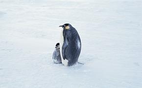 Penguins, Pinguin, Vögel, Antarktika, Tiere