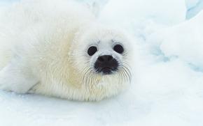 fur seal, animals, Antarctica, snow