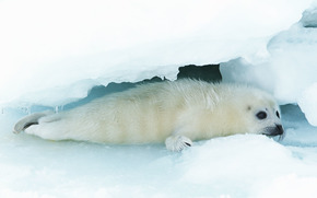 fur seal, animals, Antarctica, snow