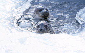fur seal, animals, Antarctica, snow, bathing