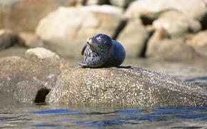 fur seal, animals, Antarctica, beach