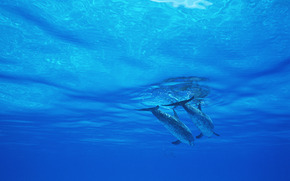 イルカ, DOLPHINS, 海, 哺乳類
