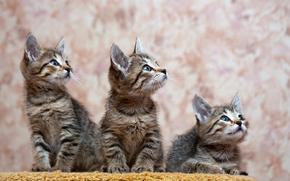COTE, gatto, gatto, gattino, Gattini, sfondo