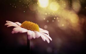 Flowers, flower, Macro, flora, plants, camomile