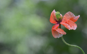 цветы, цветок, макро, флора, растения, мак
