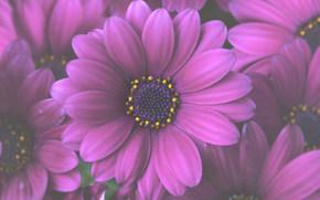 Flowers, flower, Macro, flora, plants, gerbera