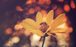 Flowers, flower, Macro, flora, plants, kosmeya, bee