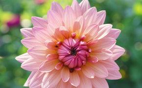 цветы, цветок, макро, флора, растения, георгин