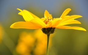 Flores, flor, Macro, flora, plantas, Kosmeya