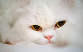 Persiano, coh, gatto, museruola, occhi, visualizzare