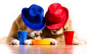 拉布拉多, 漂亮的狗, 狗, 有趣的狗