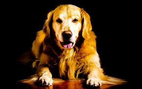 Labrador, schöner Hund, Dog, lustiger Hund