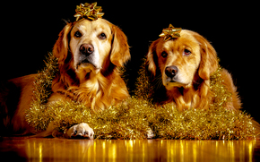 labrador, piękny pies, Pies, zabawny pies