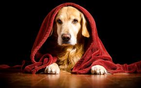 Лабрадор, красивая собака, собаки, прикольная собака