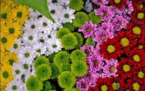хризантемы, разноцветные, много