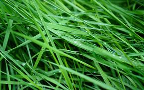 Gras, dew, Macro
