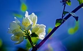 Kirschblüten, Zweig, Blumen, Macro