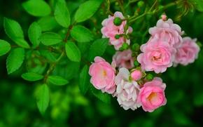 briar, rose, butonchiki, branch, foliage