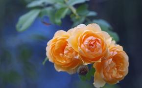розы, бутоны, ветка, боке