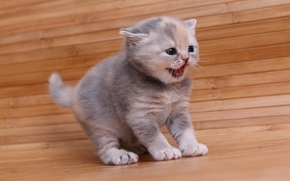 British Shorthair, kitten, baby, pisklya