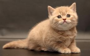 British Shorthair, gattino, bambino, visualizzare
