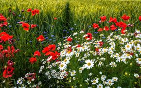 поле, ромашки, маки, цветы, флора