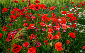 Feld, Kamille, Mohnblumen, Blumen, flora