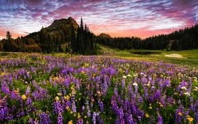 Tipsoo Lago, Mount Rainier National Park, montagna, campo, Fiori, tramonto, paesaggio