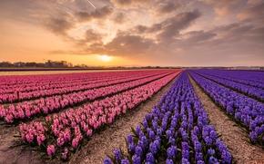 Keukenhof, Países Bajos, campo, puesta del sol, Flores, paisaje