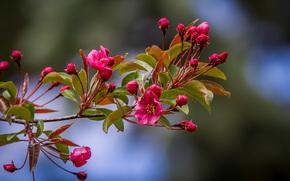 cherry blossoms, branch, Flowers, flora