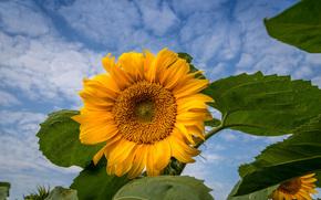 słonecznikowy, niebo, kwiat, flora