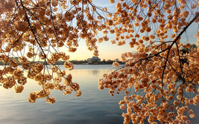 sunset, lake, branches of trees, Flowers, flowering, landscape