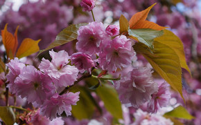 Cherry Blossoms, ветка, цветы, флора
