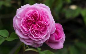 rose, Flowers, flora