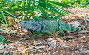 Iguana, iguana, large herbivorous lizard