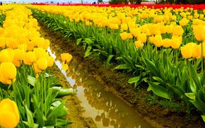 field, TULIPS, Flowers, flora