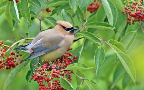 Cedro Waxwing, uccello, ramo