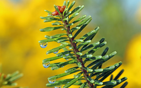 Pine branches, needles, drops, Macro
