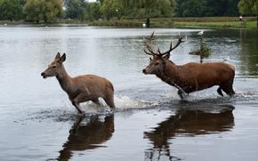 олень, олени, животные, парнокопытные, природа