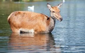 deer, deer, animals, artiodactyls, nature
