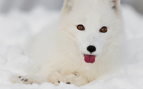 arctic fox, white, foxes, polar fox, winter, snow